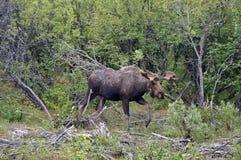 Alaskan Moose. Moose in an Alaskan forest Royalty Free Stock Photo