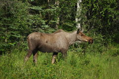 Alaskan Moose Royalty Free Stock Photos
