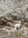 Alaskan Mountain Goat 3. High on a cliff overlooking the Seward Highway and mountain goat grazes on sparse vegitation Stock Image
