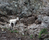 Alaskan Mountain Goat 1. High on a cliff overlooking the Seward Highway and mountain goat grazes on sparse vegitation Royalty Free Stock Images