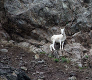 Alaskan Mountain Goat 1. High on a cliff overlooking the Seward Highway and mountain goat grazes on sparse vegitation Stock Photography