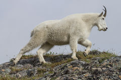 Alaskan Mountain goat. A mountain goat on a hillside, near the summit of Crow Pass, Alaska Royalty Free Stock Images