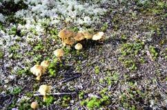 Alaskan mushroom Stock Photography