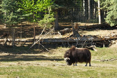 Alaskan Musk Ox Stock Photos
