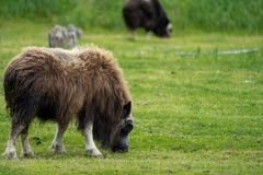Alaskan Musk Ox grazes in a green pasture eating grass. In Alaska royalty free stock photo