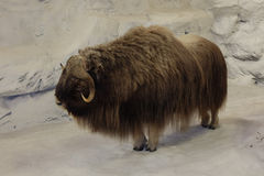 Alaskan Musk Ox Stock Photo