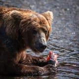 alaskan niedźwiadkowy łasowania łosoś Zdjęcia Stock