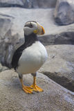 Alaskan Puffin Royalty Free Stock Images