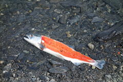 Alaskan salmon after filleting. Royalty Free Stock Images