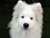 Alaskan Samoyed Puppy Royalty Free Stock Image