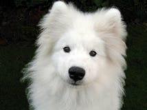 Alaskan Samoyed Puppy. Portrait of white Alaskan Samoyed Puppy royalty free stock image
