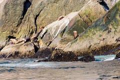 Alaskan Sea Lion`s Stock Images