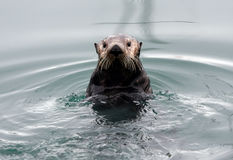 Alaskan Sea Otter Stock Photos