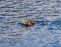 Alaskan Sea Otter with baby royalty free stock photography