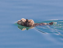 Alaskan Sea Otter with baby royalty free stock photo