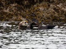 Alaskan sea otter in the bay Stock Image