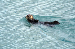 Alaskan Sea Otter swimming Stock Photography