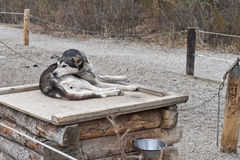 Alaskan sled dog Stock Photography