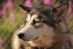Alaskan sled dog. Sled dog having a rest in Alaska Stock Images