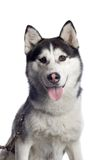 Alaskan sled dog. Portrait of Alaskan Malamute sled dog with white background Royalty Free Stock Photo