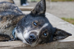 Alaskan sled dog resting Stock Photos