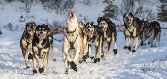Alaskan sled dogs loving life Royalty Free Stock Photography