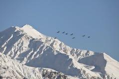Alaskan Trumpeter Swans flying Stock Photos