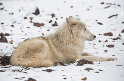 Alaskan Tundra Wolf. Relaxing In The Snow Stock Image