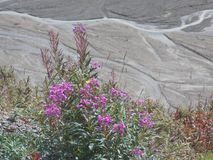 Alaskan Wildflowers Brighten Rugged Landscape. Fireweed grows along the Park Road in Denali National Park to brighten up a section of the rugged landscape royalty free stock image