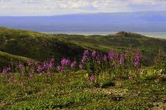 Alaskan wildflowers Royalty Free Stock Images