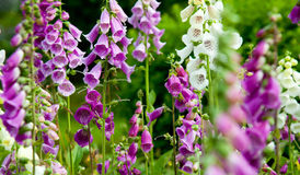 Alaskan Wildflowers Stock Photo
