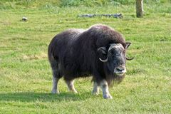 Alaskan Wildlife. Musk Ox in Alaskan countryside stock image