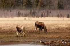 Alaskan wildlife in fall Stock Photo