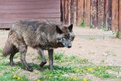 Alaskan wolf Royalty Free Stock Photo