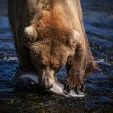 Alaski Brown niedźwiedź z łososiem Fotografia Royalty Free