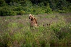 Alaski Brown niedźwiedź z Cubs Zdjęcia Stock