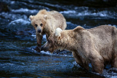Alaski Brown niedźwiedź z lisiątkiem Obraz Royalty Free