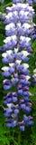 Alaski Lupine Zdjęcie Royalty Free