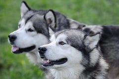 alaski malamute zdjęcie royalty free