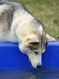 alaski malamute Fotografia Stock