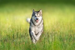 Alaski malamute w ruchu obrazy stock