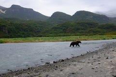 Alaski Nabrzeżny Brown niedźwiedź, Katmai fotografia royalty free