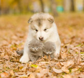 Alaskiego malamute szczeniak ściska śliczne figlarki w jesień parku Obraz Royalty Free