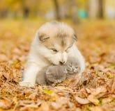 Alaskiego malamute szczeniak ściska śliczne figlarki w jesień parku Obraz Stock