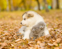 Alaskiego malamute szczeniak ściska śliczne figlarki w jesień parku Zdjęcia Royalty Free