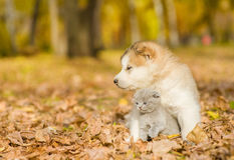 Alaskiego malamute szczeniak ściska ślicznej figlarki w jesień parku Obrazy Royalty Free