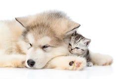 Alaskiego malamute szczeniak ściska malutkiej figlarki Odizolowywający na bielu Zdjęcia Stock