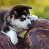 alaskiego malamute szczeniak Zdjęcia Royalty Free