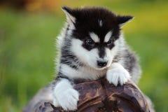 alaskiego malamute szczeniak Obrazy Stock