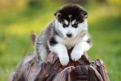 alaskiego malamute szczeniak Zdjęcie Stock